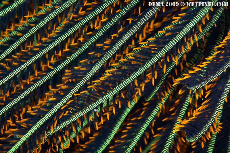 A colorful crinoid (feather star), Indonesia (photo: Eric Cheng)