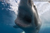 Great white shark, shot from pole-cam (photo: Eric Cheng)