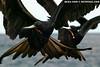 Frigate birds, synchronized (Isabela)