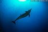 Scar, a local dolphin (Darwin)
