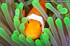 False percula clownfish (Amphiprion ocellaris), Indonesia (photo: Eric Cheng)