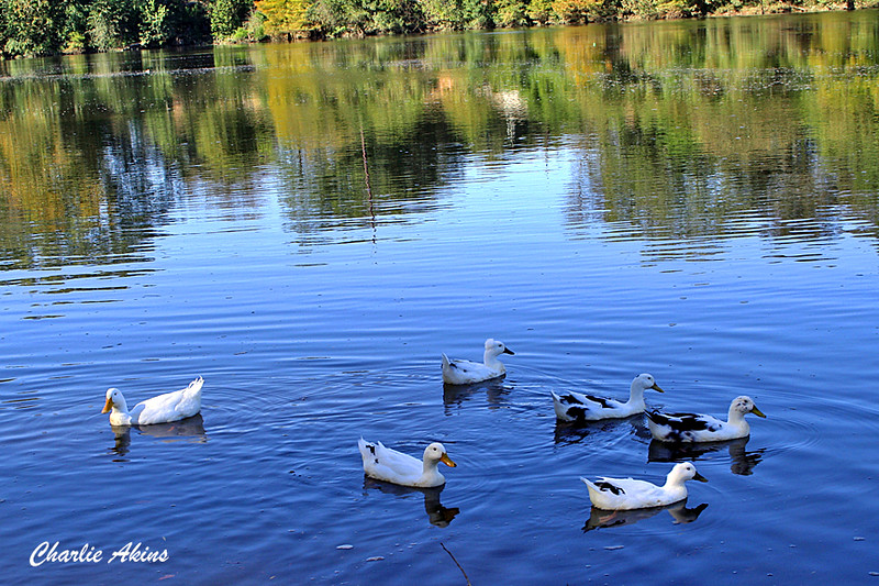 Ducks swimming in the Coosa River.