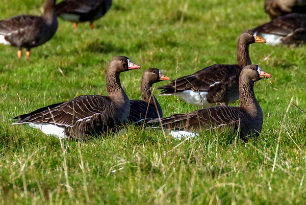 Greenland White Fronted Goose