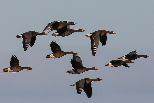 Greenland White-Fronted Geese