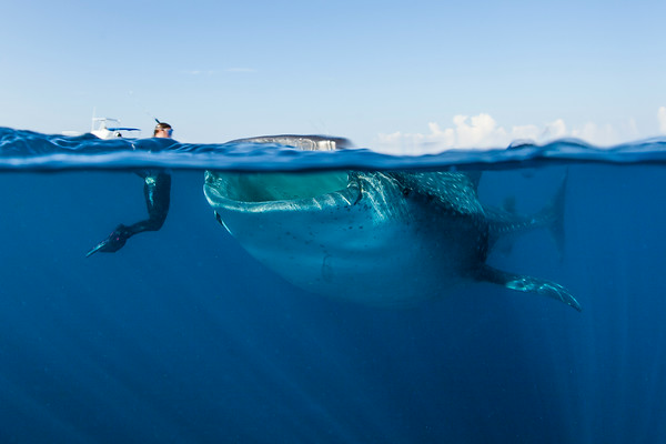 """This photo typifies our whale shark encounters.  The """"sharks"""" were trying to skim bonito tuna eggs off the surface, so they swam with their mouths wide open, and just their top """"lip"""" above the surface.  Here, Jen watches a big fellow swim within arm's length."""