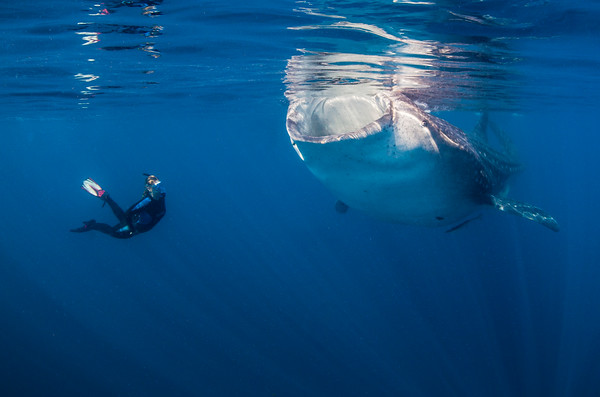 """This photo typifies our whale shark encounters.  The """"sharks"""" were trying to skim bonito tuna eggs off the surface, so they swam with their mouths wide open, and just their top """"lip"""" above the surface.  Here, Jen watches a big fellow skimming for lunch!"""