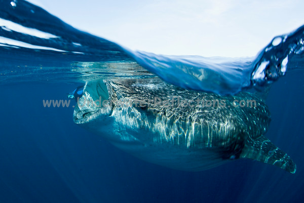 Photobomb!  Can you see who ruined this perfectly good split shot of a feeding whale shark?