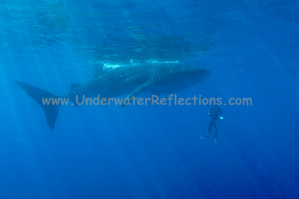 Most of the sharks we saw were 20-40 ft in length; this one is pretty typical size - plenty big to inspire awe...