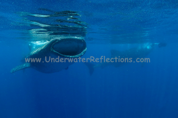 The more plentiful the plankton, the more whale sharks show up!