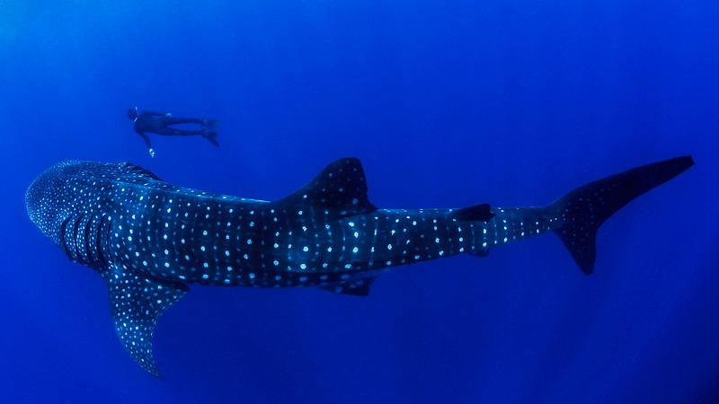 Biggest whale shark I've ever encountered