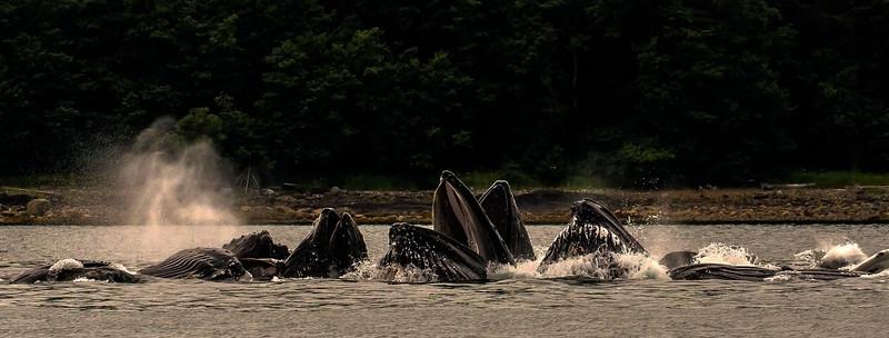 Humpback Whales Bubblenet Feeding in Gastineau Channel