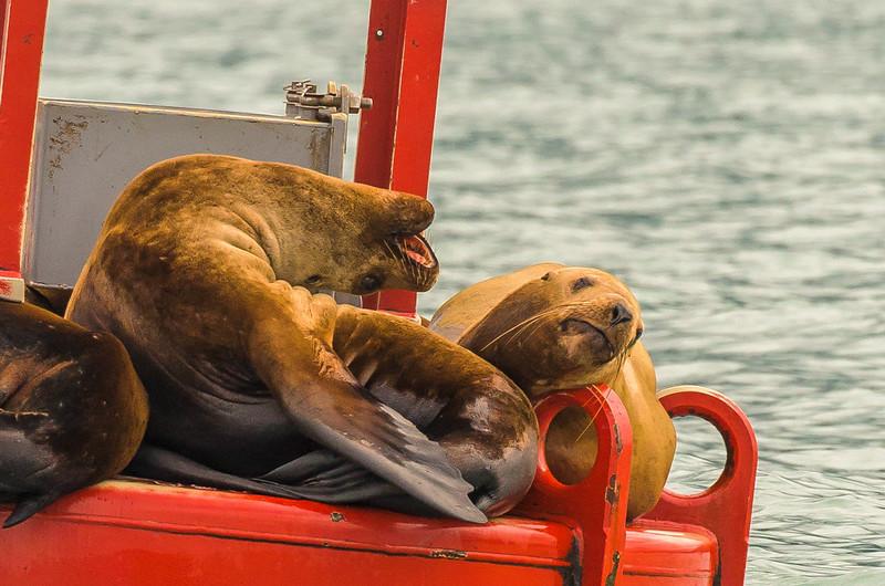 Sea Lions Playin' Around