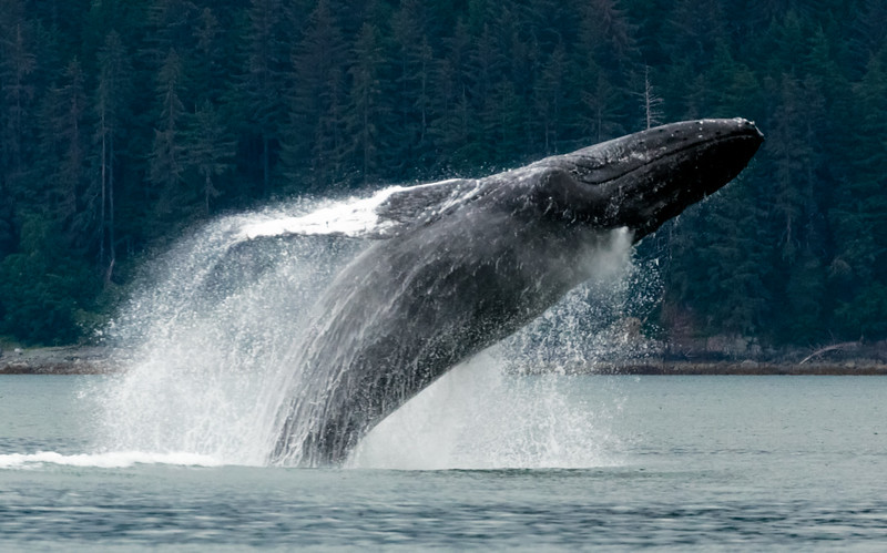 Whale Breach in Gastineau Channel