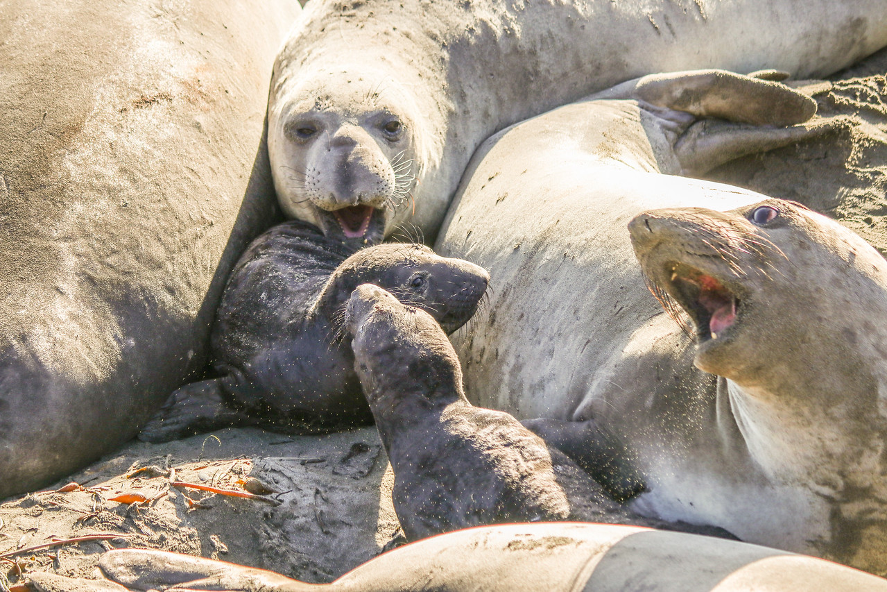 Mom and baby northern elephant seals have a conversation at their rookery site.