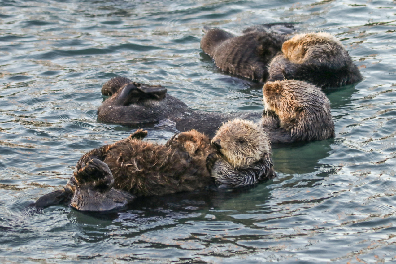 Sea otters waking up at sunrise in Morro Bay.