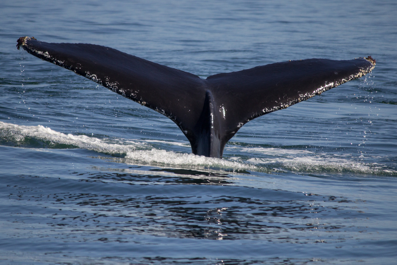 Humpback whale tail in Monterey Bay.