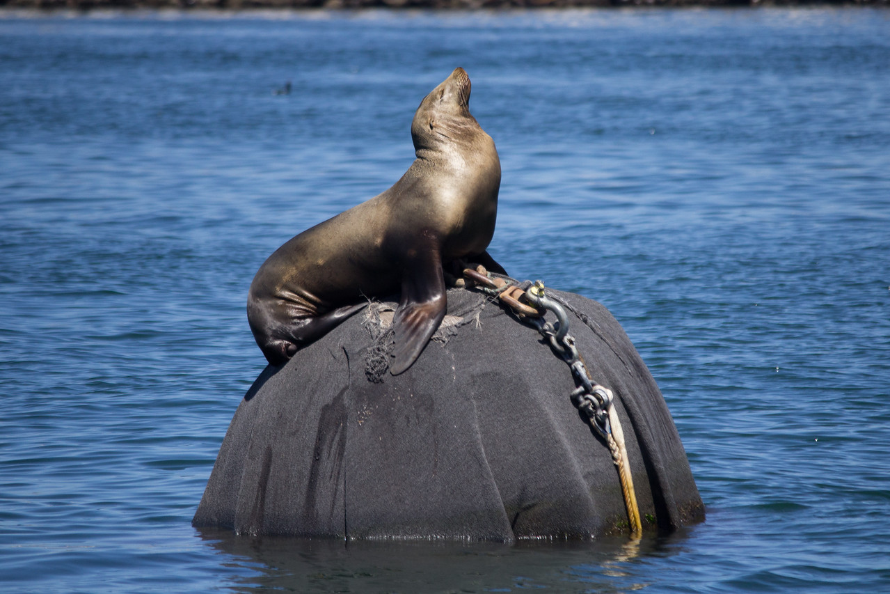 A sea lion plays queen of the buoy.