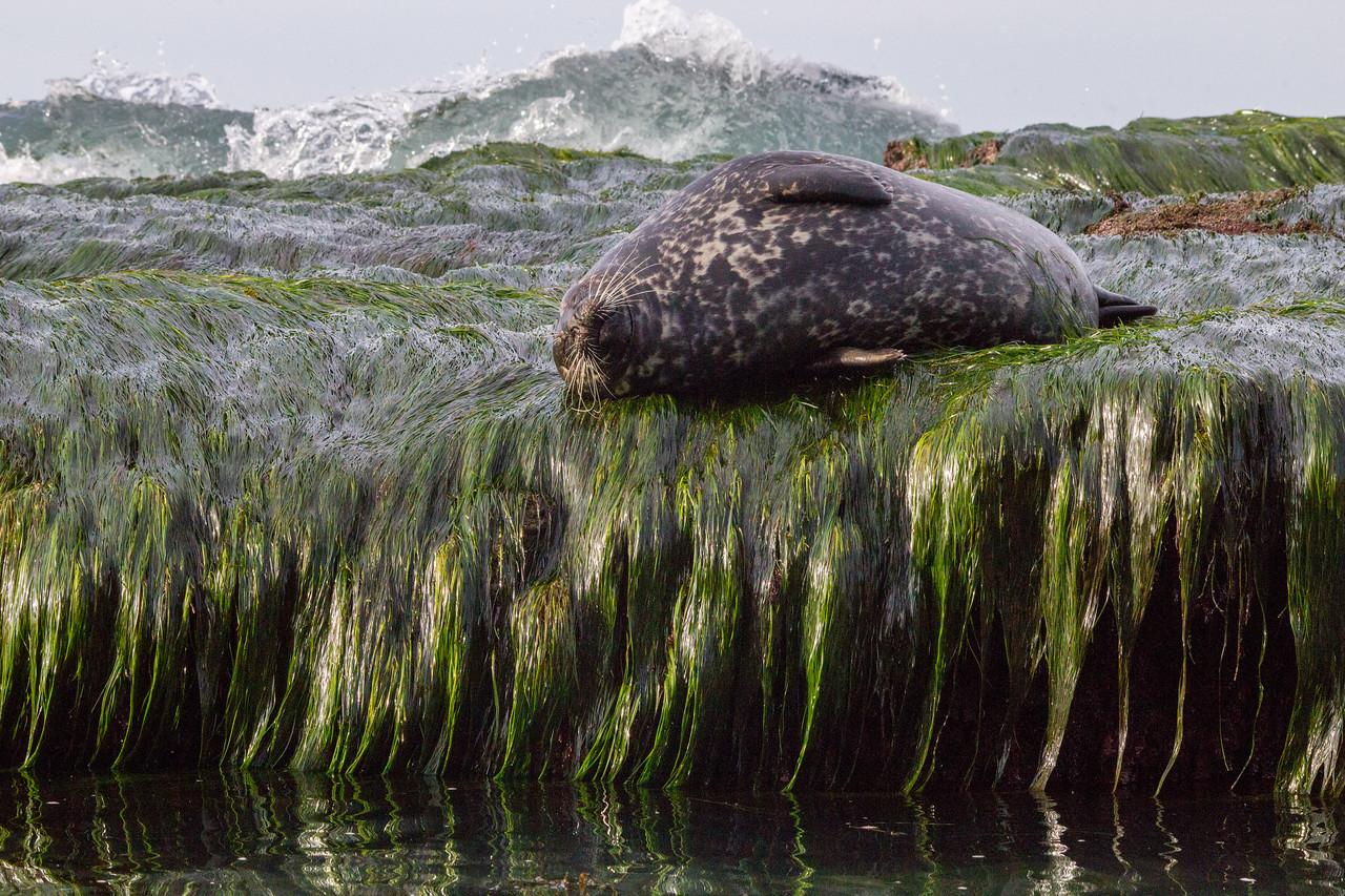 Harbor seal resting at La Jolla Tide Pools.