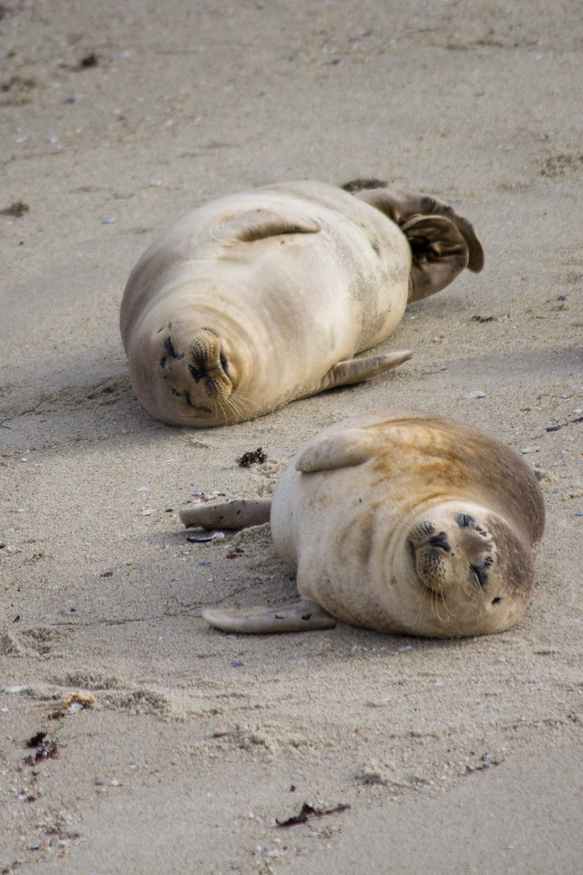 Baby harbor seals bask in the sun at Children's Pool.