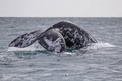 A gray whale dives in Laguna Ojo de Liebre.