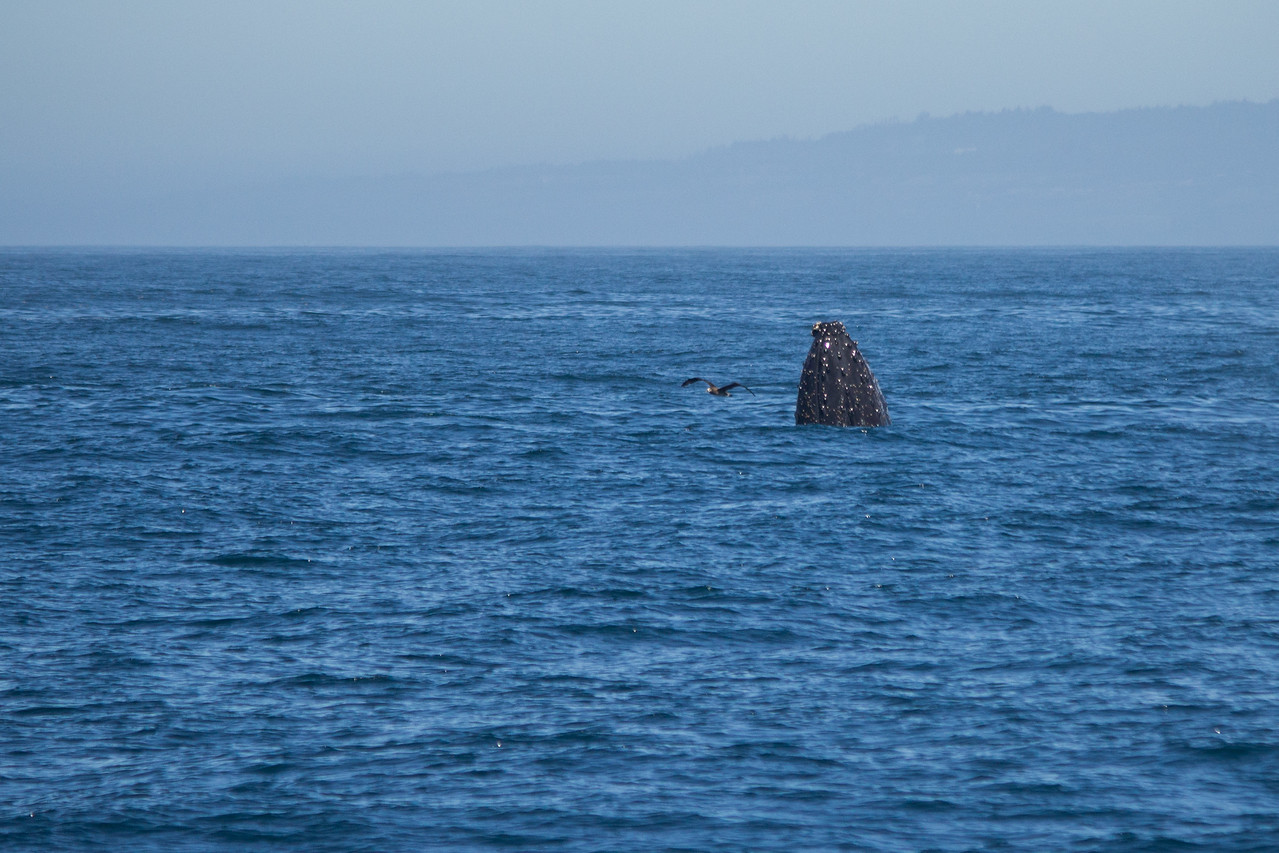 A humpback whale arrives to voice displeasure at the presence of orcas in Monterey Bay.