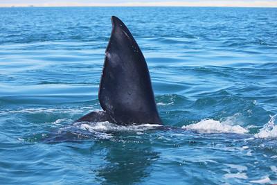 Baby gray whale flukes in Laguna Ojo de Liebre.