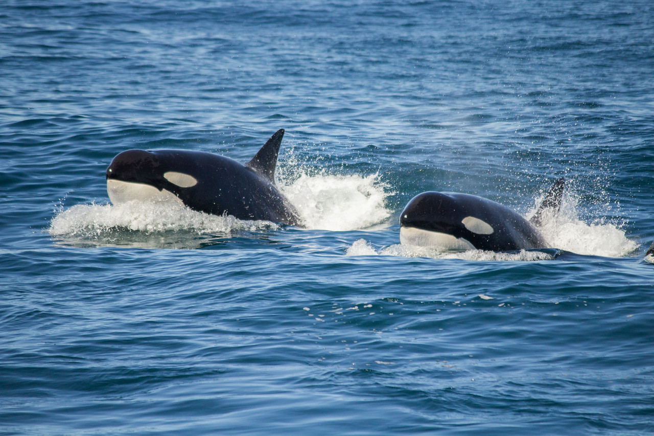 Two orcas from transient pod CA140s in Monterey Bay.