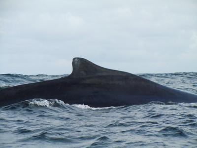 Humpback whale dorsal fin in Samana Bay.