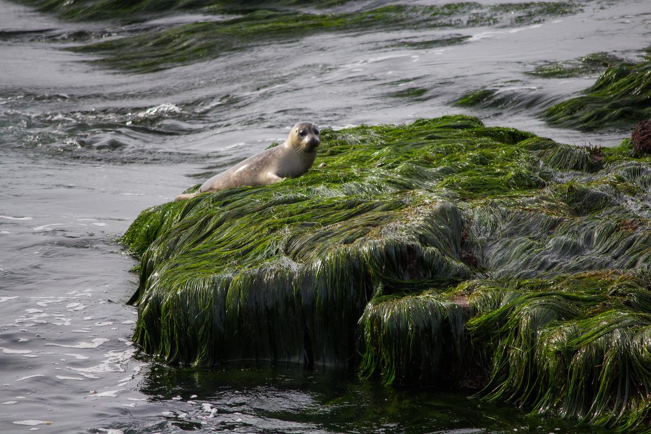 A young harbor seal hauling out at La Jolla Tide Pools.