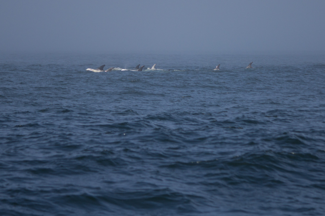 A pod of Risso's dolphins in Monterey Bay.