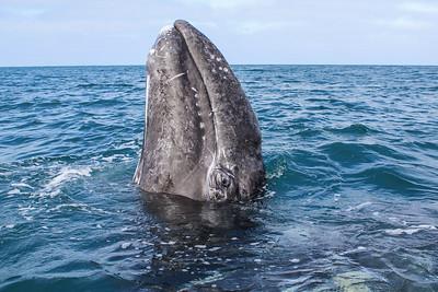 Baby gray whale spyhops in Laguna Ojo de Liebre.
