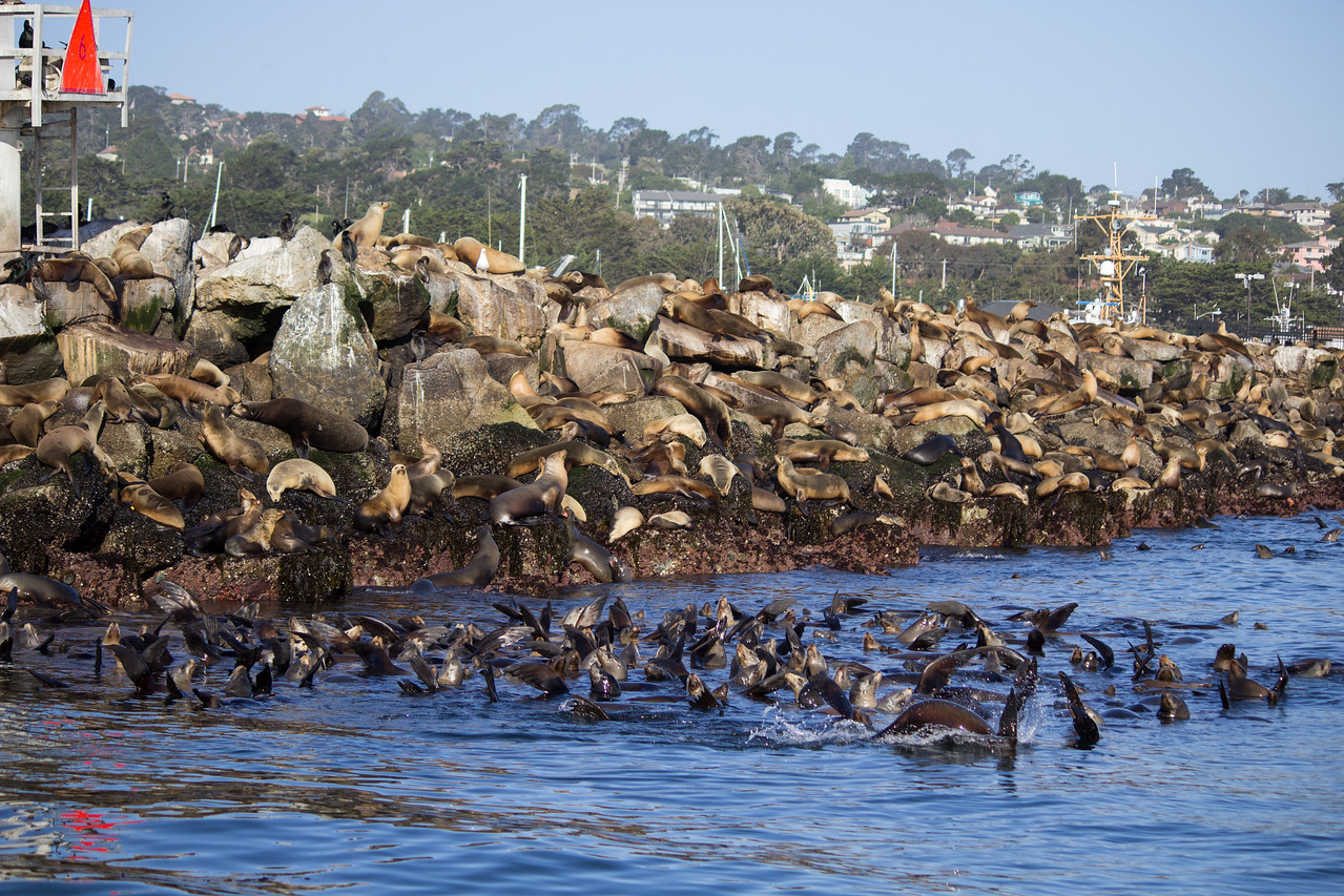 Sea lions at the end of Breakwater.