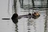 Sea otter in Elkhorn Slough.