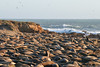 Northern elephant seals congregate for winter at San Simeon Elephant Seal Vista Point.