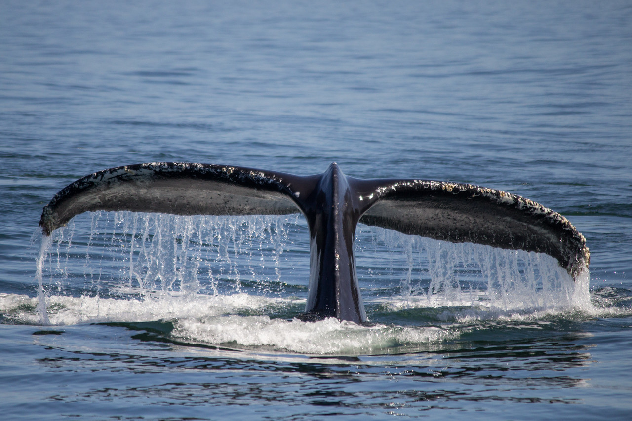 A humpback whale dives in Monterey Bay.