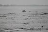 Common dolphin porpoising in Monterey Bay.
