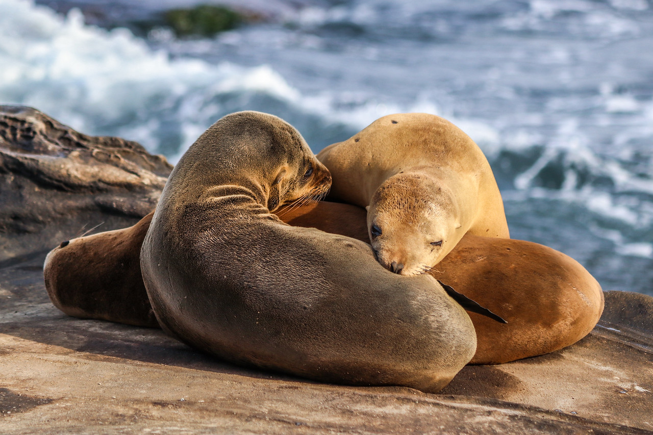 Sea lions pups nap at La Jolla Cove.