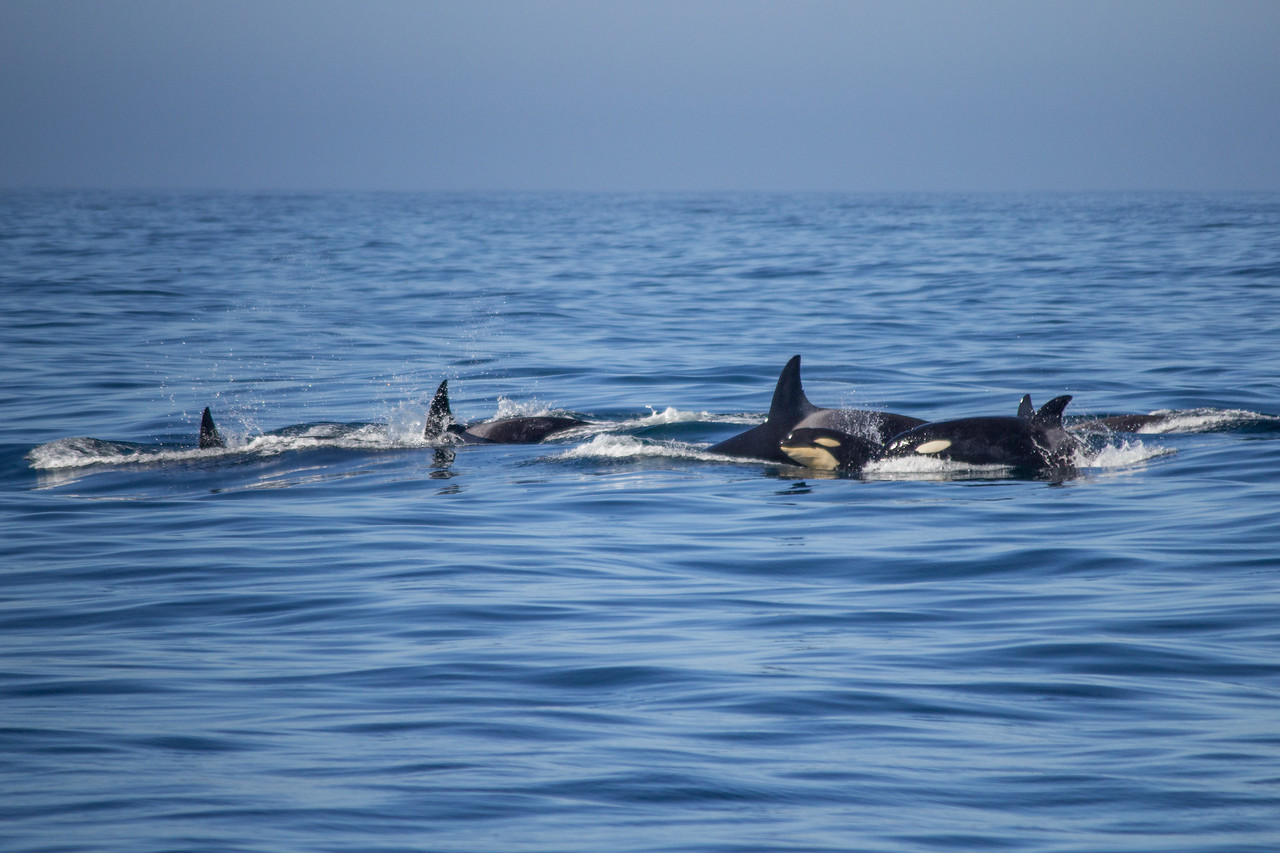 Transient orca pod CA140s, Emma and her family, visit Monterey Bay.