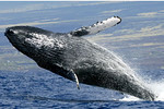 Kona Sunrise Charters, Whale Watch from February