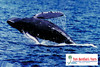"""<a title=""""Make a reservation for Star of Honolulu, Whale Watch Early Bird 8:45AM with Tom Barefoot's Tours"""" href=""""http://www.tombarefootshawaiitoursactivities.com/product.php?id=4194&name=Whale_Watch_Early_Bird_8_45AM"""">Star of Honolulu, Whale Watch Early Bird 8:45AM</a>"""