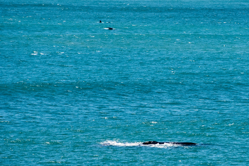 At any one time, looking up from my food, there were at least 2-3 whales in plain sight. So different from the last trip when zero were seen.