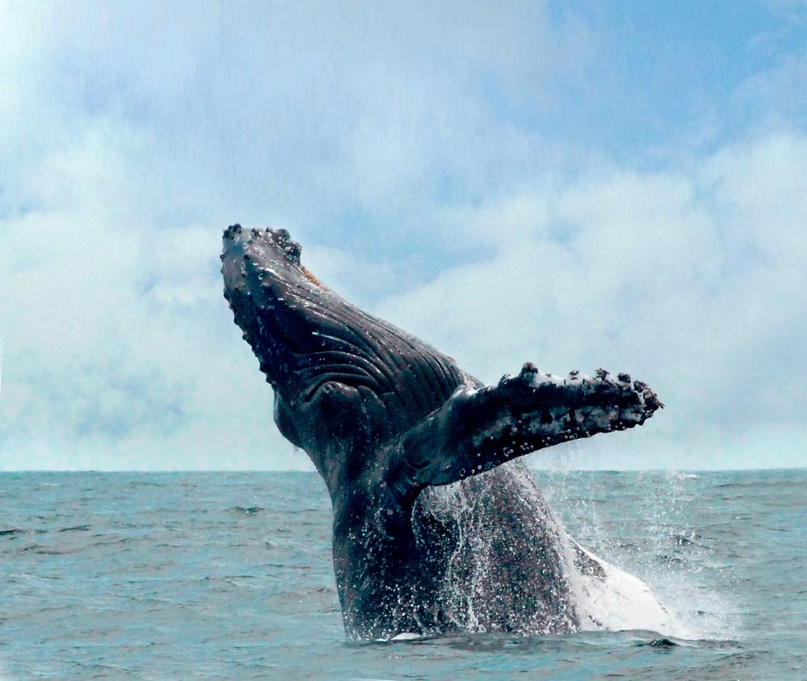 Secret spring escapes; Mar'12; Humpback whale breaching