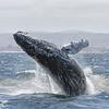 Humpback Whale - (Megaptera novaeangliae)