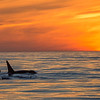 Transient Killer Whale (Orcinus orca)