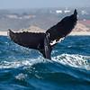 Humpback Whale Fluke (Megaptera novaeangliae)