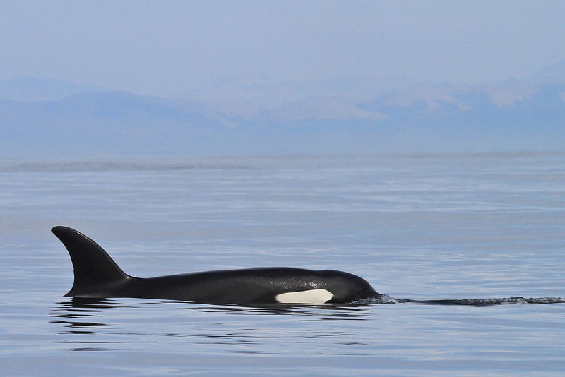 Killer Whale (Orcinus orca)
