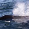 Transient Killer Whale (Orcinus orca)