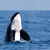 Bigg's Transient Killer Whale