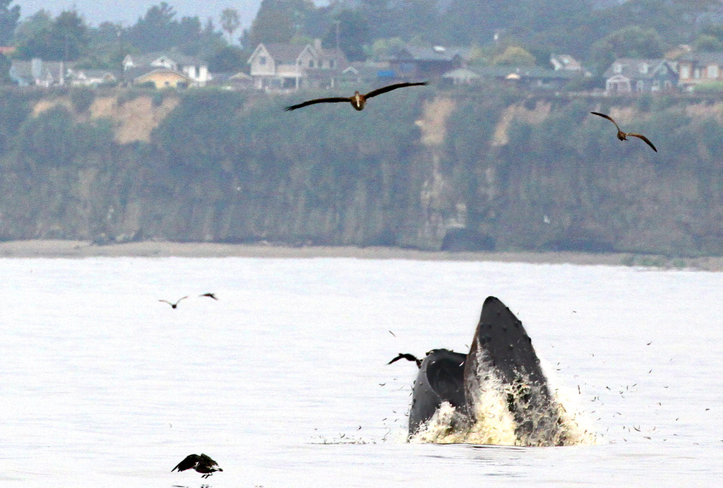 . Whales seen from Rio Del Mar State Beach on Wednesday August 16, 2017 (Shmuel Thaler -- Santa Cruz Sentinel)