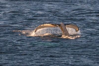 Whales in Flatrock!